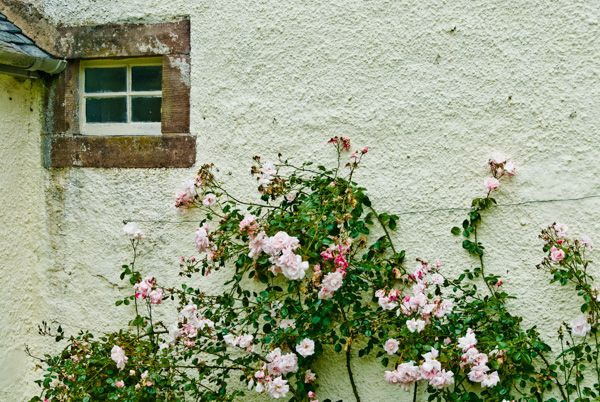 Traquair House photo, Roses at the house entrance