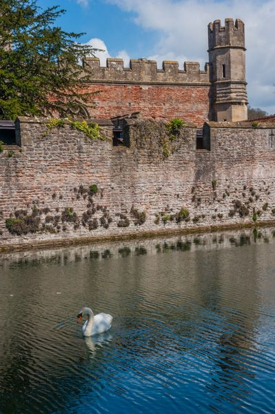 Wells Bishop's Palace photo, A swan enjoys the waters of the moat
