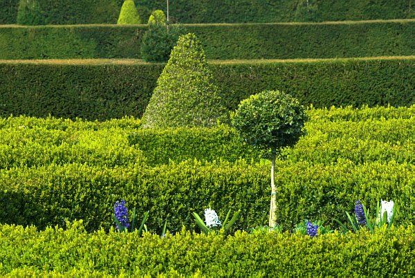 Westbury Court Garden photo, Topiary and clipped hedges