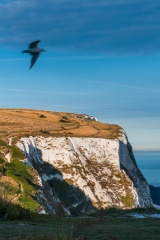 Seagulls over the White Cliffs of Dover