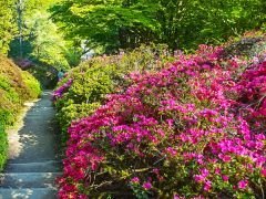 Winkworth Arboretum, Azaleas in bloom (c) Colin Smith