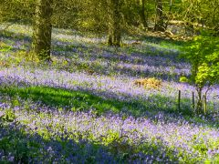 Winkworth Arboretum, Drifts of spring bluebells (c) Colin Smith