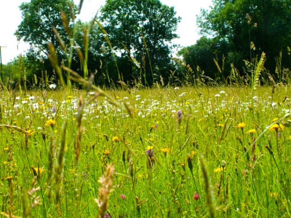 Winllan Wildlife Garden photo, Hay meadows in flower (c) Ian Knox