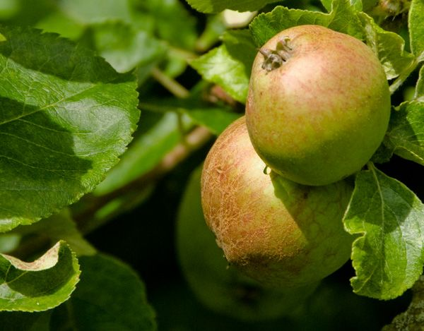 Woolsthorpe Manor photo, Apples on a descendant of Newton's tree