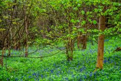 Bluebell woods at Aysgarth