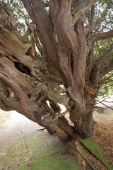 The ancient yew tree