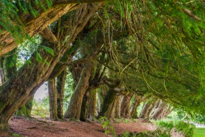 The 18th century yew avenue