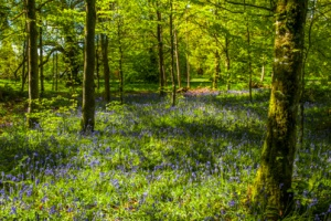Bluebell woods in the grounds