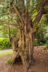 The Domesday Yew