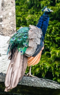 One of the resident Gwydir peacocks