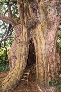 The ancient hollow yew tree