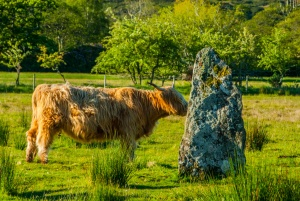 Highland cattle investigating a standing stone