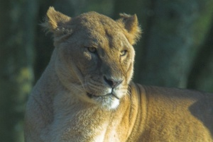 A lioness in the Safari Park at Longleat