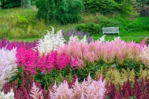 Summer astilbe in bloom