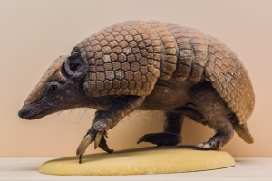 A three-banded armadillo in the Mammals gallery
