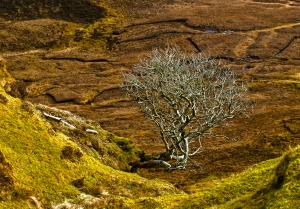 A leafless tree beside the Quiraing trail