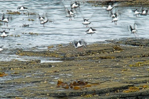 Birds take flight on the shore of Rousay