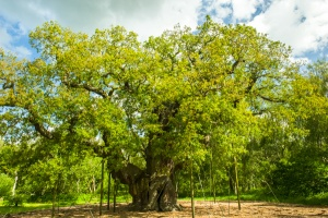 The 'Major Oak' in Sherwood Forest