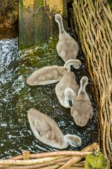 Abbotsbury Swannery, Cygnets exploring their environment