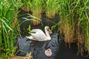 A mother swan and cygnets