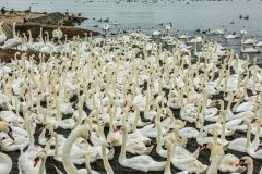 Abbotsbury Swannery, Swans gathering for the noon feeding