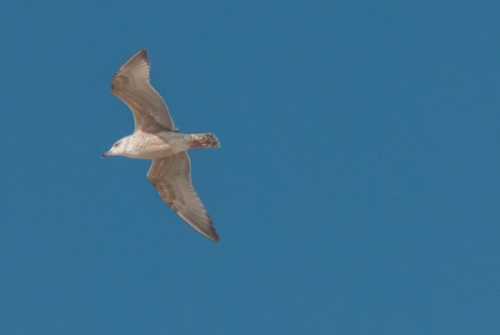 Seabird in flight at Balranald RSPB nature reserve