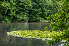 A swan swims in the lake at Dinton Park