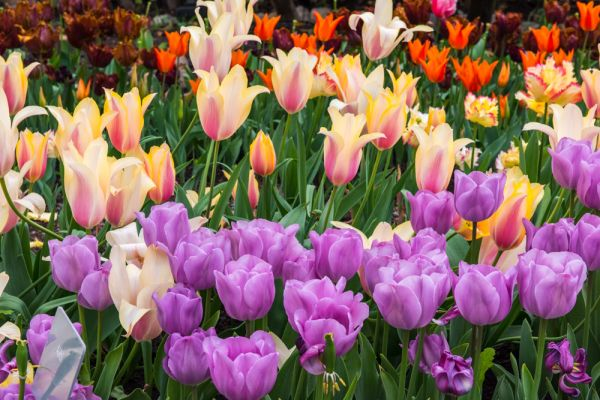 Eden Project photo, Display of tulips in the Mediterranean Biome