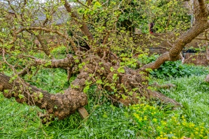 Gainsborough would have known this 400 year old mulberry tree in the garden