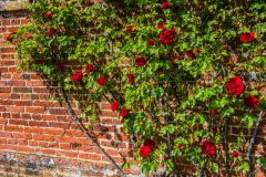 Red roses in the walled garden