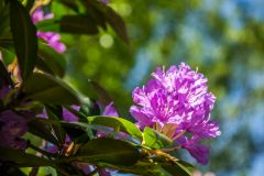 Rhododendrons flourish in the woodland