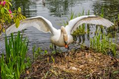 A mother swan guards eggs beside the lake
