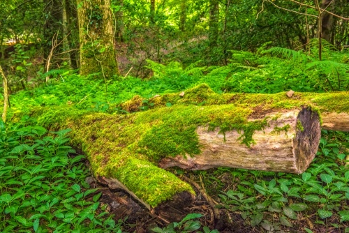 A mossy fallen tree in Hudswell Woods