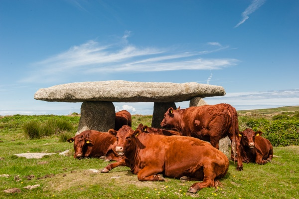 Lanyon Quoit acting as an sun shade for local cattle