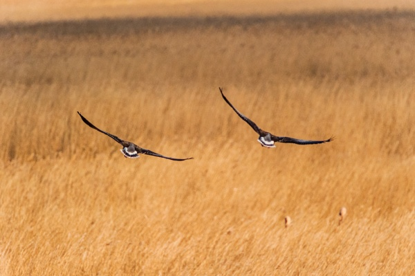 Birds flying low over the reedbeds