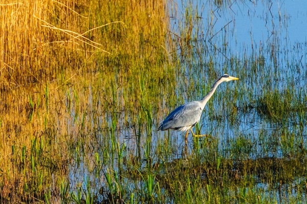 A heron at RSPB Minsmere
