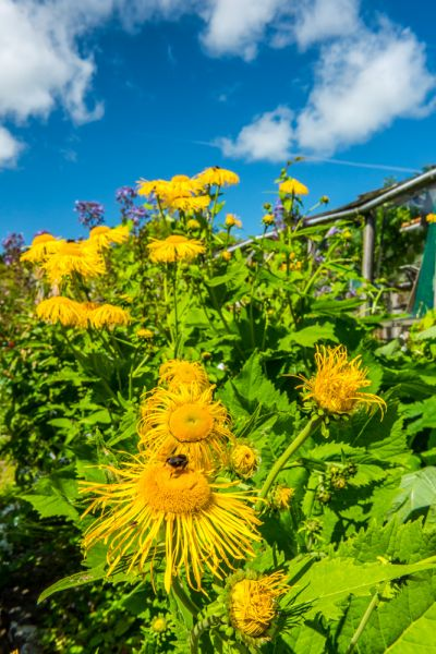 Morland House Gardens photo, Sunflowers in July