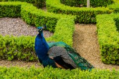 Moseley Old Hall, A peacock in the knot garden