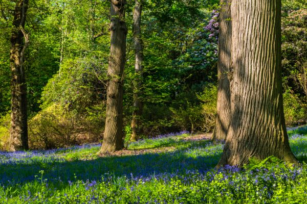 Sheringham Park photo, Bluebells in The Woods