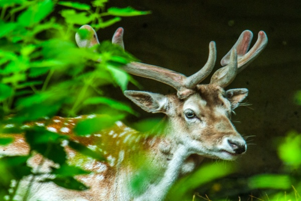A fallow deer in the woodlands
