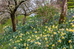 Trelissick Garden, Daffodils and bluebells in spring