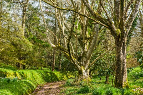 Trewithen photo, A quiet woodland garden path