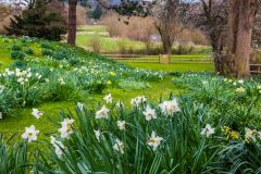 Spring daffodils in the moat garden