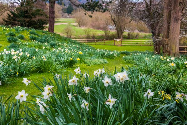 Wilton Castle photo, Spring daffodils in the moat garden