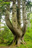 The Ardkinglas Silver Fir, desinated one of Britains top 50 trees