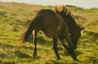 Dartmoor Horse, Saddle Tor