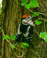 Woodpecker, Lydford Gorge