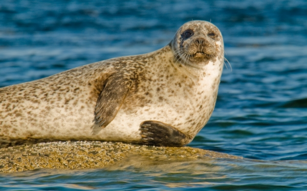Seal at Scalpsie Bay, Isle of Bute